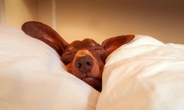 dog-asleep-in-bed-768
